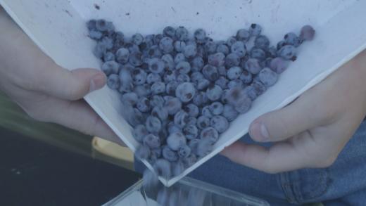 Vidéo | Les bleuets sauvages du Québec sont excellents pour la santé
